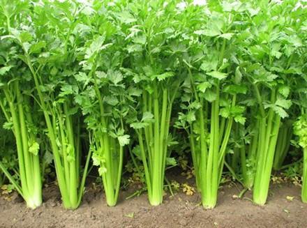 周末农场有机芹菜种植方法