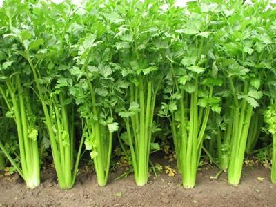 有机芹菜的定植技术
