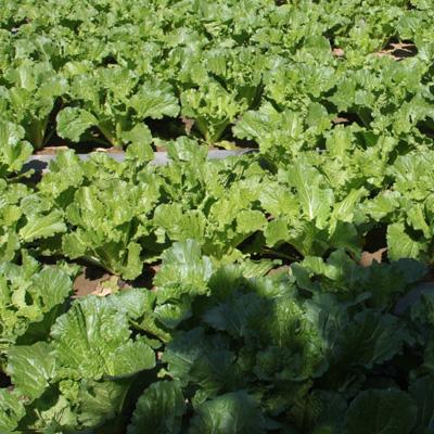周末农场第三茬蔬菜种植通知及收菜准备