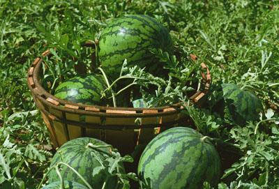 有机西瓜的定植技术