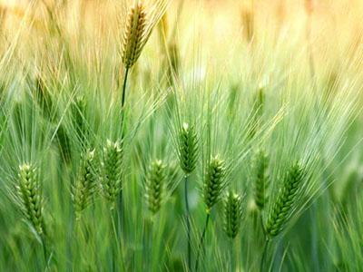 阿根廷也试水转基因小麦 转基因或成趋势