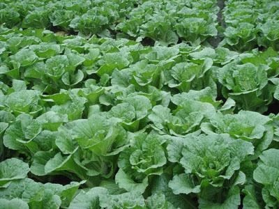 有机大白菜的育苗栽植技术