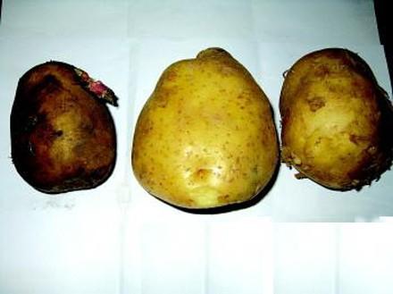 教你如何分辨翻新土豆