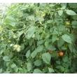 有机小西红柿