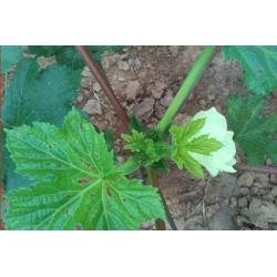 有机黄秋葵-补肾菜